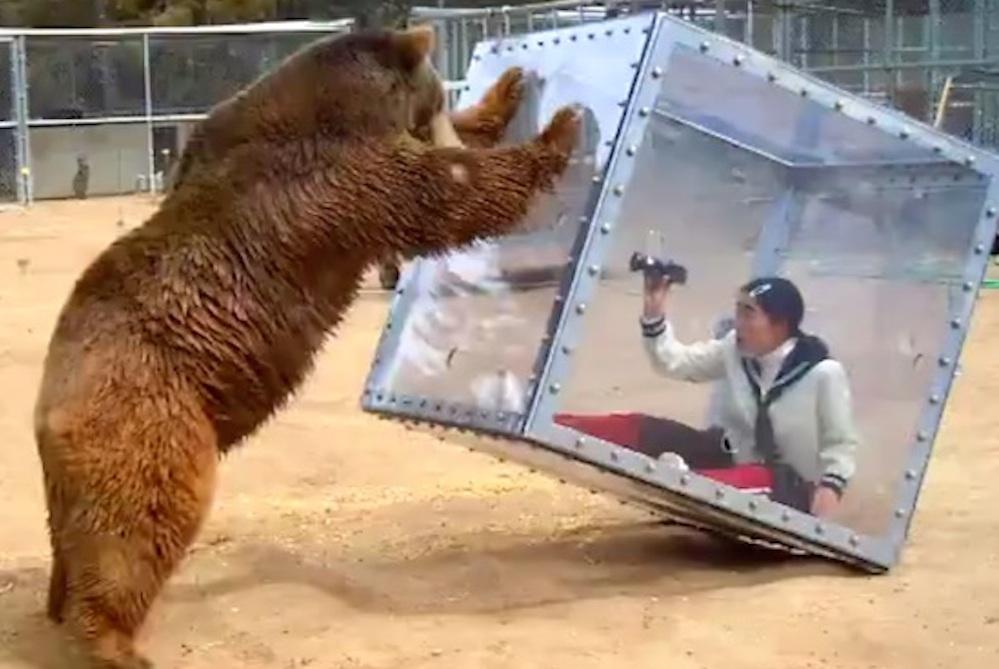 Japanese Game Show Bear Attacks Woman Glass Box