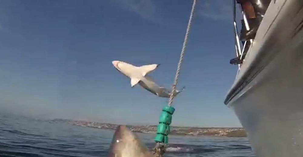 Jumping Sharks