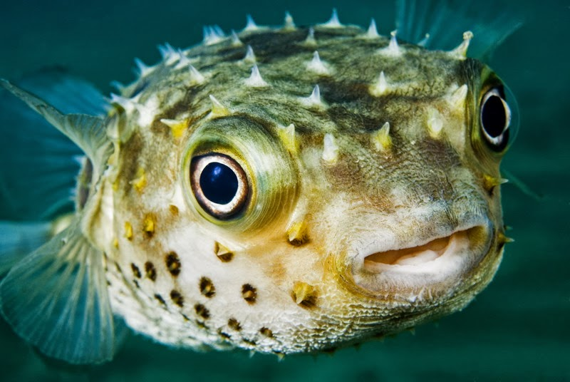 Most Poisonous Animals - Puffer Fish