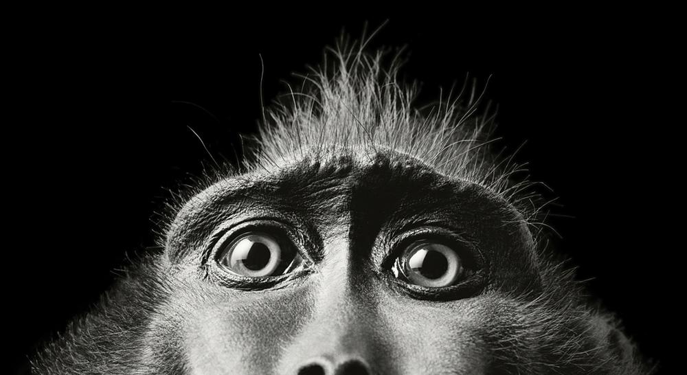 Tim Flach - Monkey Eyes