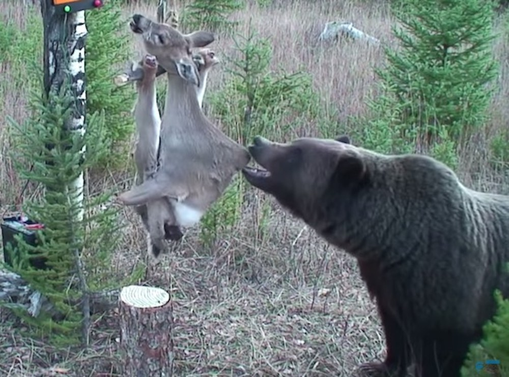 Bear Deactivates Electrified Deer Carcass