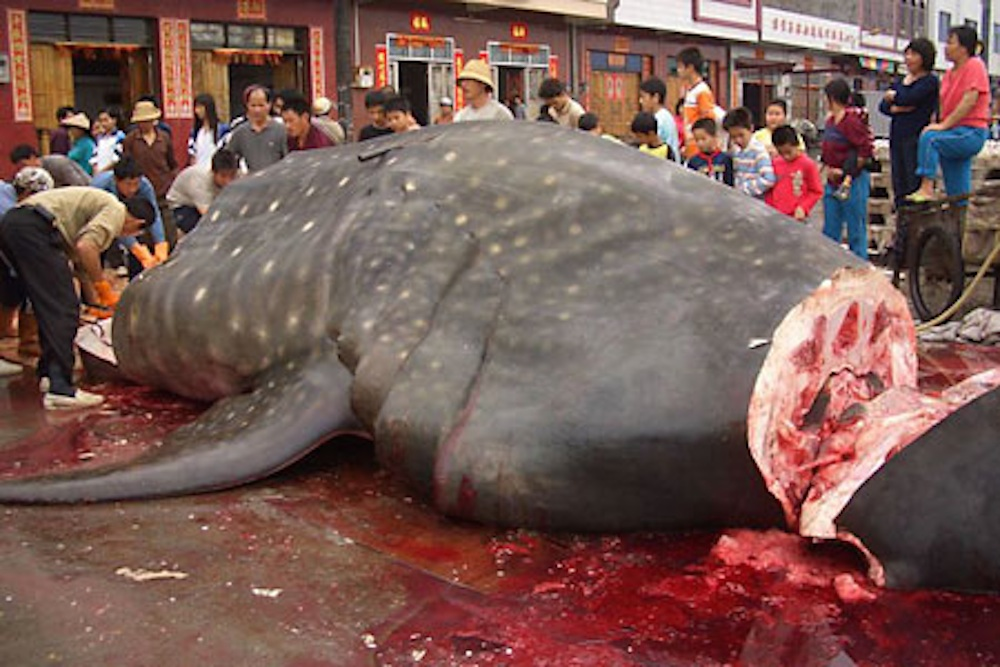 Chopped Up Whale Shark
