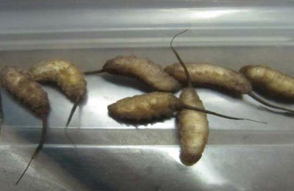 Maggots Subway Sandwich