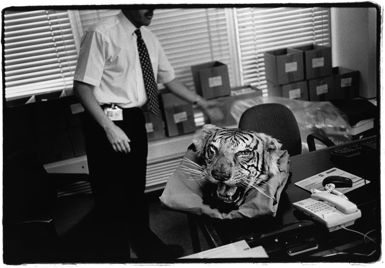 United Kingdom London, England, Great Britain, UK At Scotland Yard's animal protection unit, a police officer displays a tiger's head seized during a raid in London. 2003