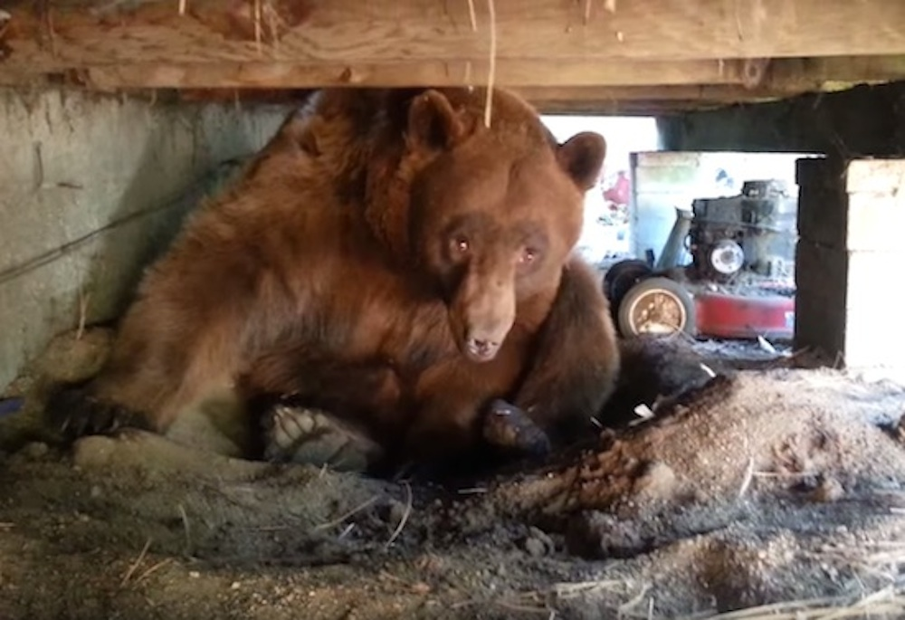 Bear Underneath House