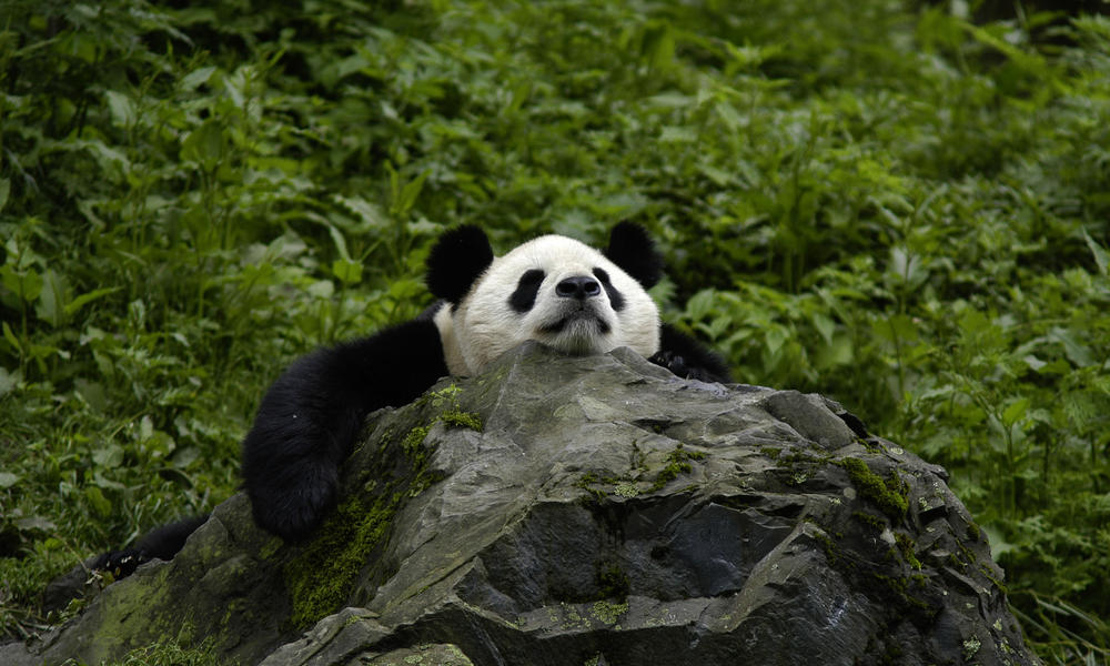 Shittest Animals - Giant Panda