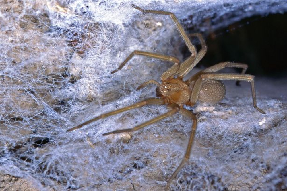 Colombian Recluse Spider