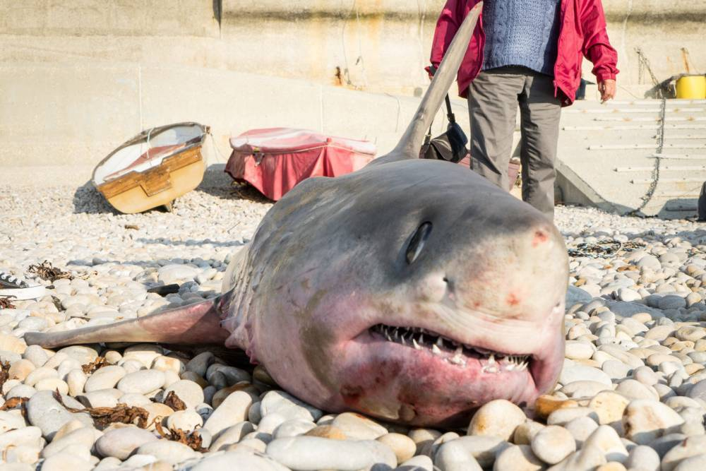 """The shark which was landed at Chesil Cove in Dorset. See SWNS story SWSHARK; Fishermen were shocked when they hauled in their nets -- and discovered a two metre long SHARK. The men were fishing around 250 metres off Chesil Cove in Dorset, when the adult female porbeagle shark got tangled in their trammel nets. Dorset Wildlife Trust said while it was an accidental catch it was a """"shame"""", and called on authorities to set up more 'protected' areas. Marc Smith, the trust's beach centre manager said: """"This was an unfortunate incident."""
