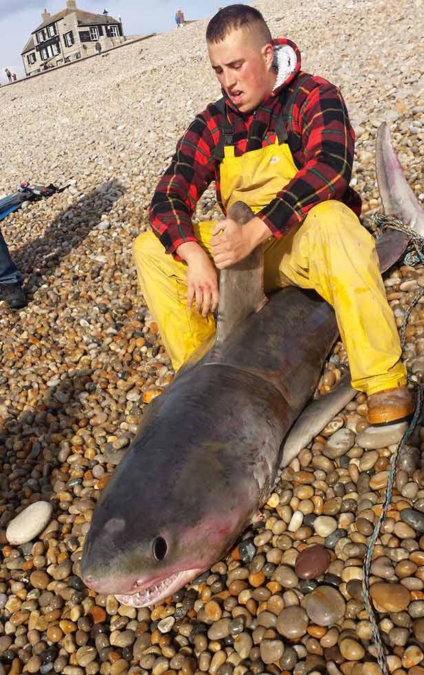 Shark Dorset