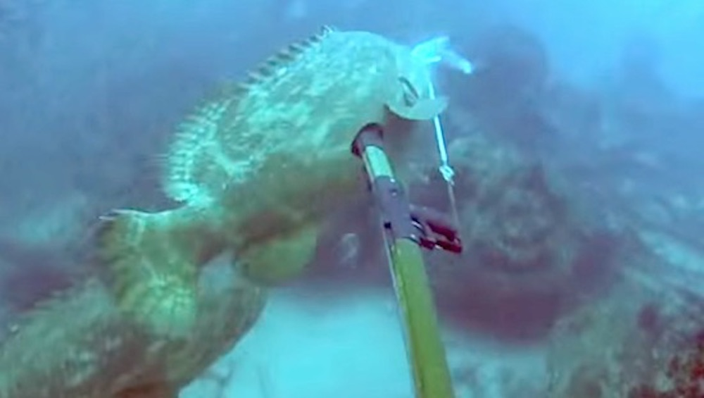 Giant Grouper Fish Drags Spear Fisherman