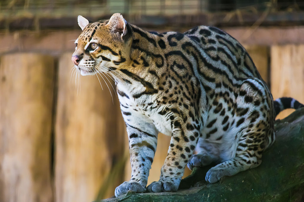 Ocelot Cool Cat