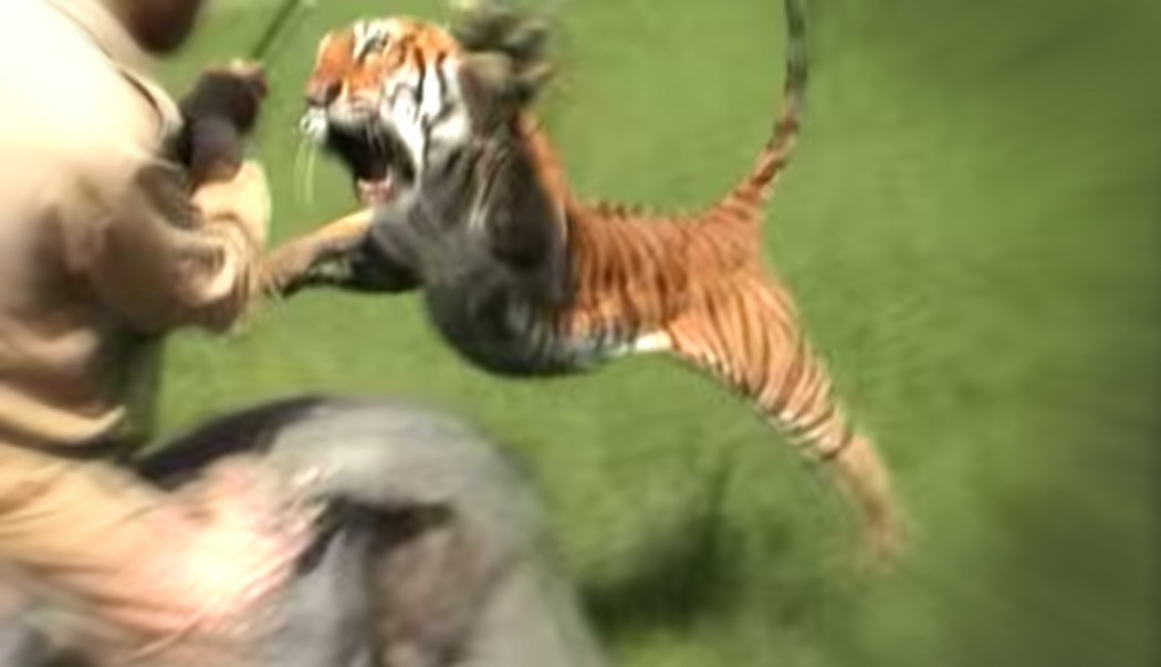 Tiger Attacks Elephant and Rider