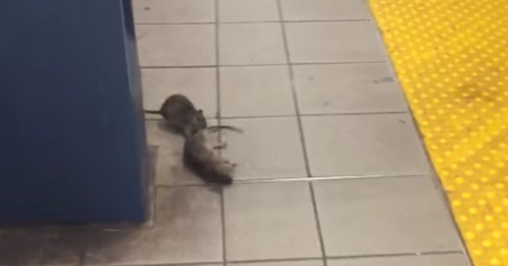 New York Pizza Rat Cannibalism