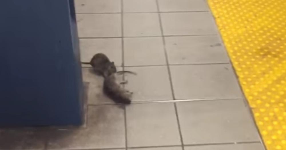 New York Pizza Rat Cannibalism