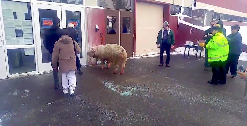 600 Pound Pig Vote