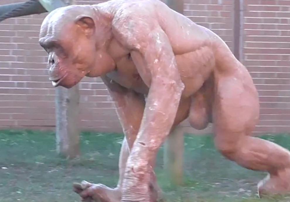 Chimpanzee Alopecia