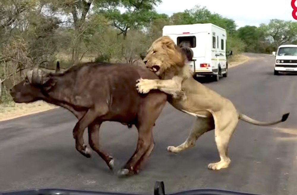 watch four lions brutally take down a buffalo up close and