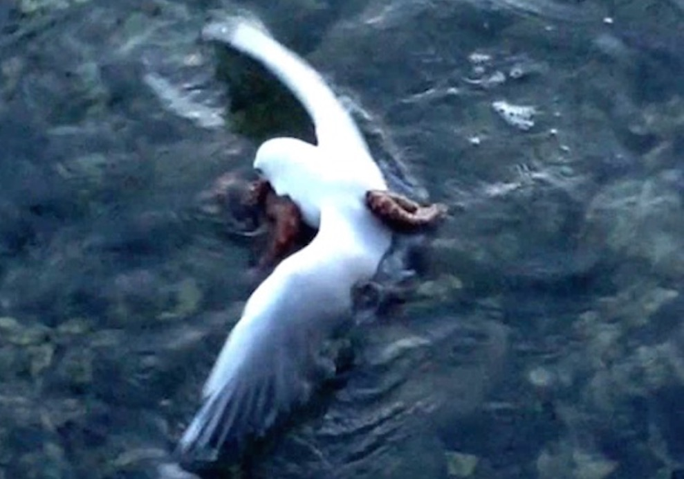 Octopus Drowns Seagull