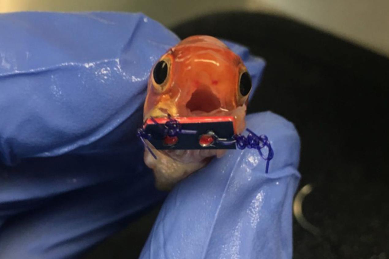 Goldfish With Braces