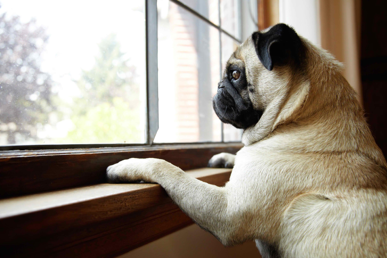 Pug Window