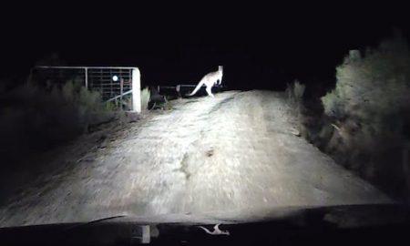 Kangaroo Road Rage