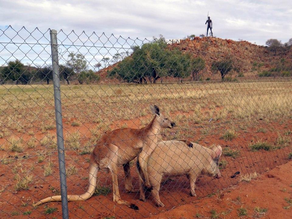 Kangaroo and Pig love