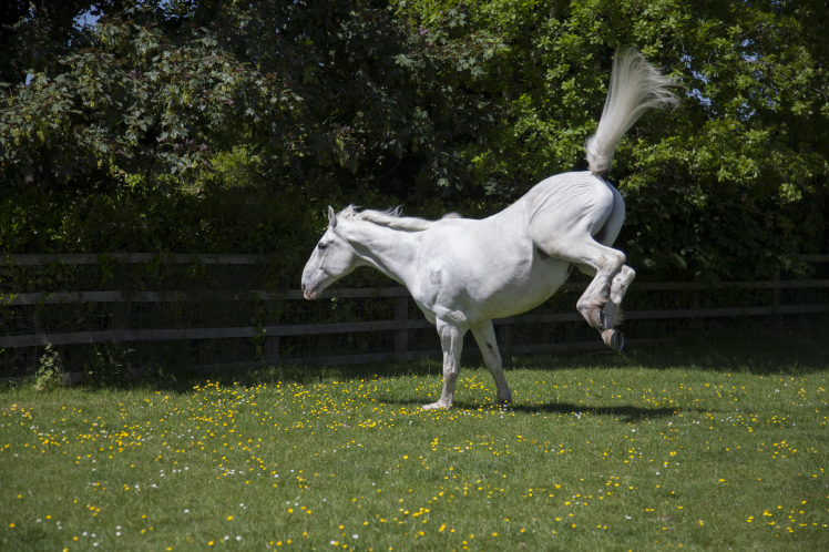 Horse kicking out