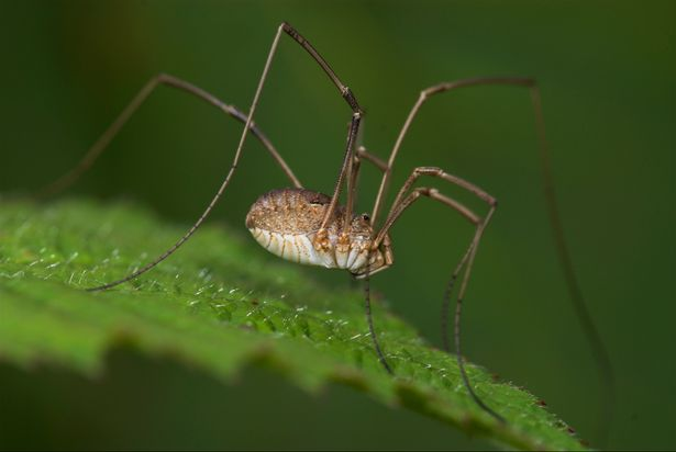 Cannibal spiders