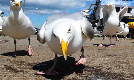 angry-seagulls