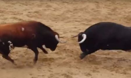 head-to-head-bull-collision