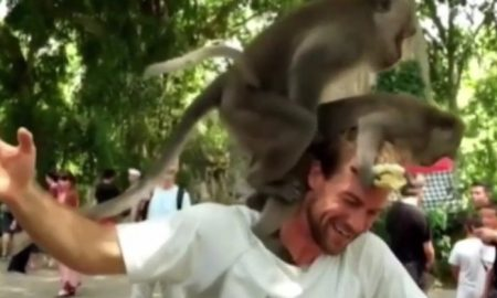 Monkeys have sex on man's shoulder