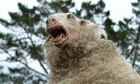 psychotic-sheep