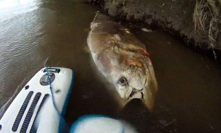 seven-foot-tuna