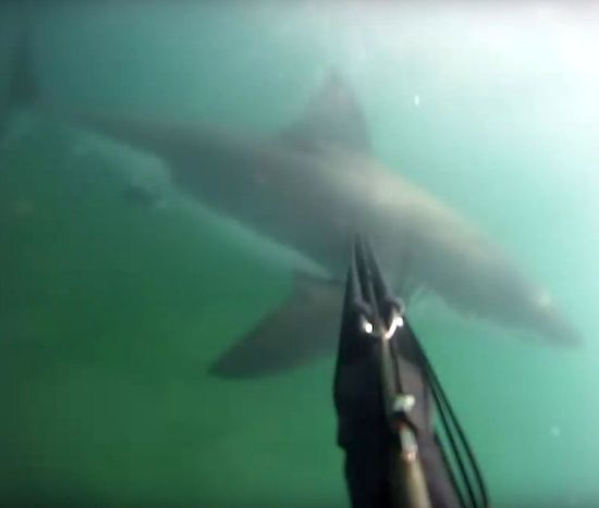 spear-fisherman-attacked-great-white-shark