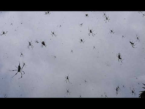 spiders-raining