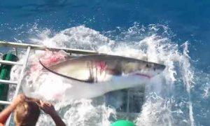 bloody-shark