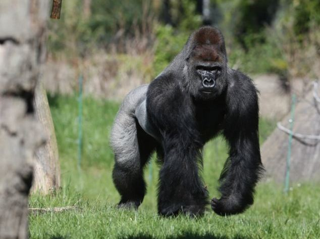 gorilla-london-zoo