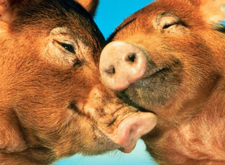 pigs-in-love