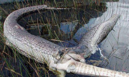 snake-exploded-eat-alligator