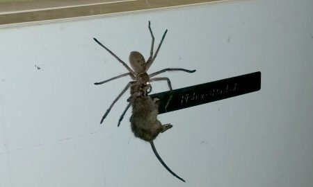 spider-mouse