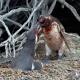 penguin-love-traingle
