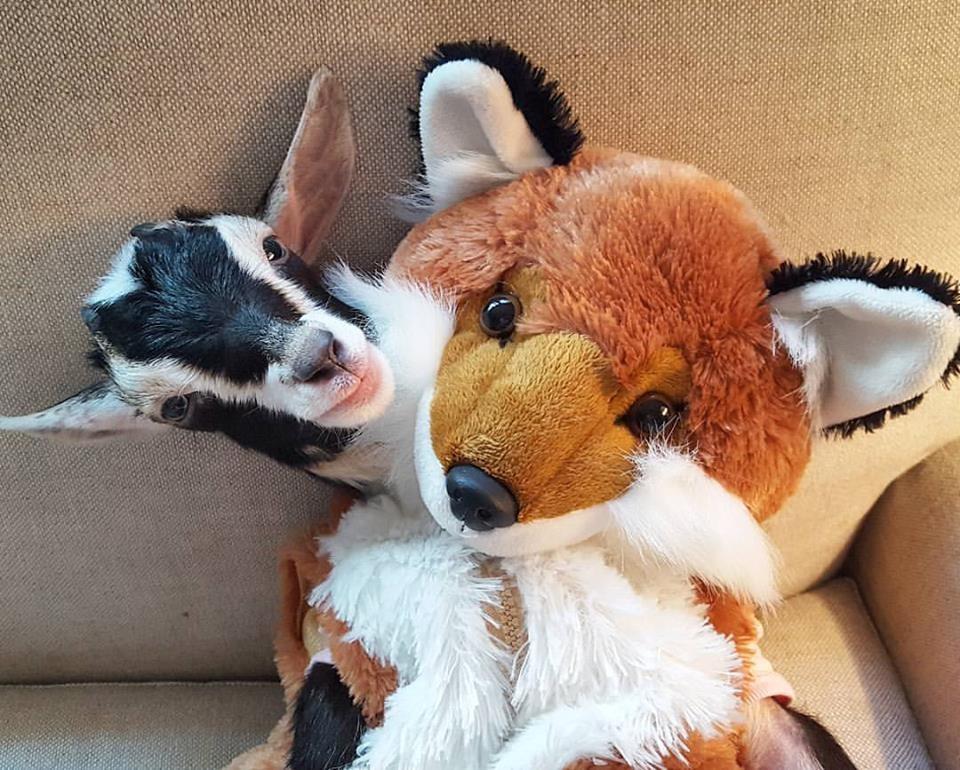 polly-fox