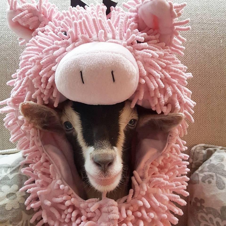 polly-pig