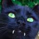 vampire-cat