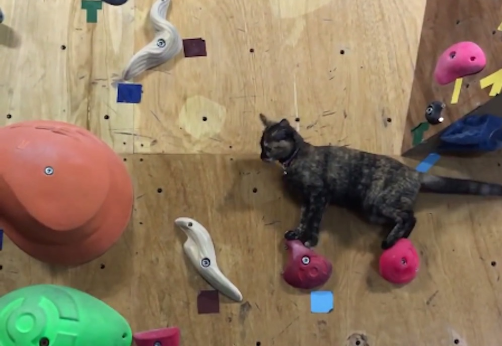 lalah-cat-climbing-wall