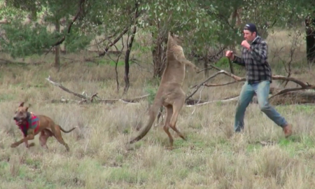 man punch kangaroo