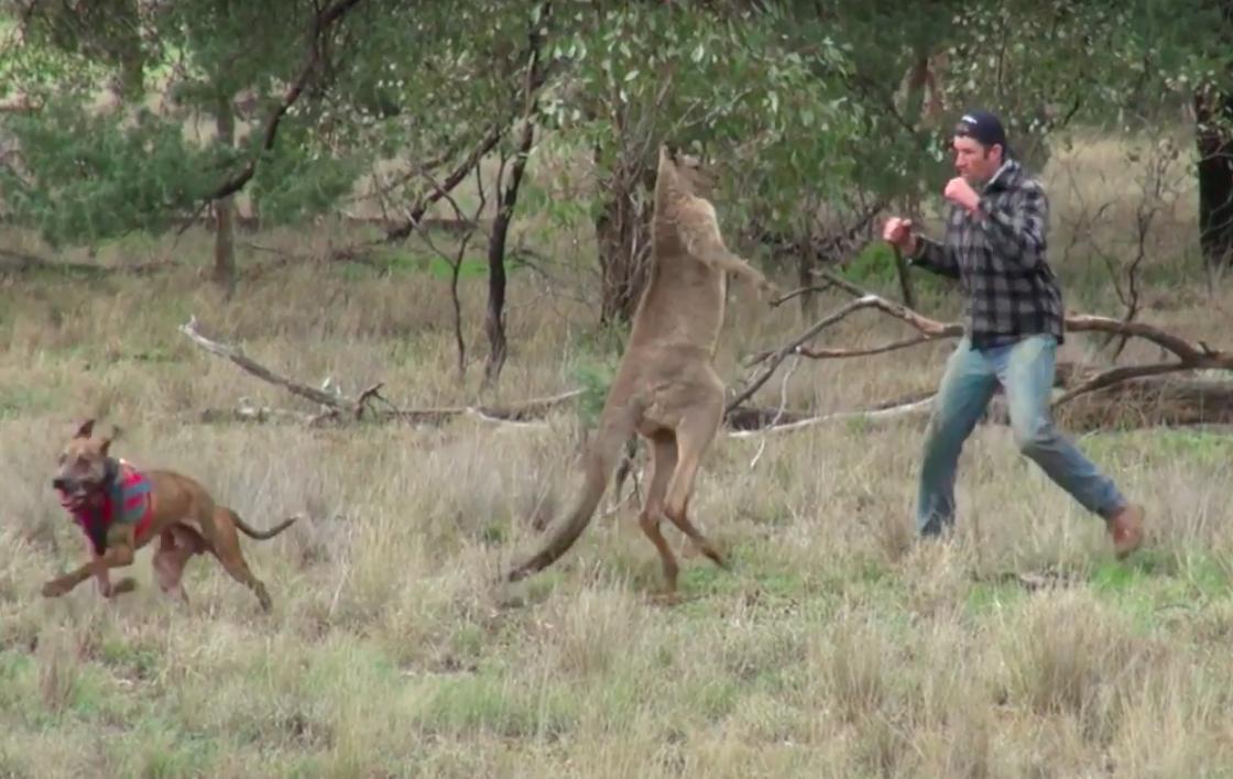 man punch kangaroo
