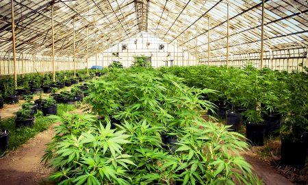 weed-farm