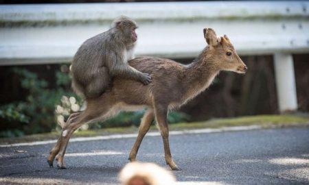 monkey-deer