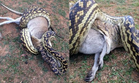 Python swallows wallaby